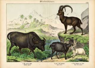 Antique Print BUFFALO GOAT ALPINE IBEX Schubert 1878
