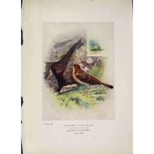 Rock Pipit Bird Egg Colour Antique Old Print Fine Art