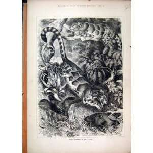 1877 Grey Leopards Jungle Birds Wild Animals Old Print