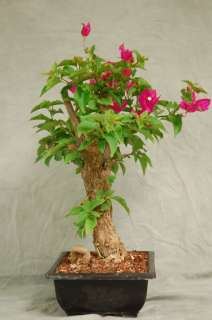 Hot Pink Flowers Bougainvillea Bonsai Tree, Unique color flower for