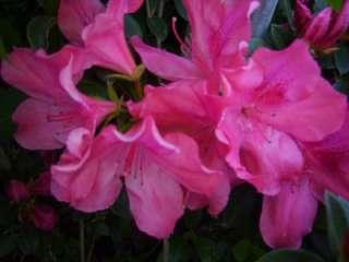 Azalea Plant Southern Charm Pink