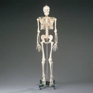 Human Skeleton Model 35 inch High Arts, Crafts & Sewing