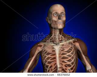 Skeleton, Skull, Male, Head, Shoulders And Chest, Transparent Muscles